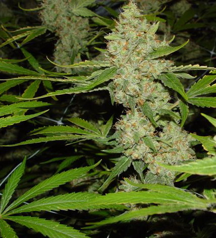 marijuana7.jpg