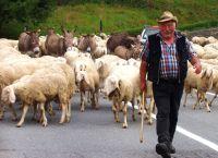 pecore7.jpg